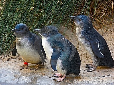 Fairy penguins