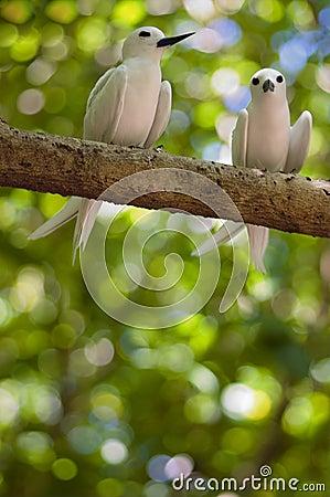 Free Fairy Terns Royalty Free Stock Photo - 2492495