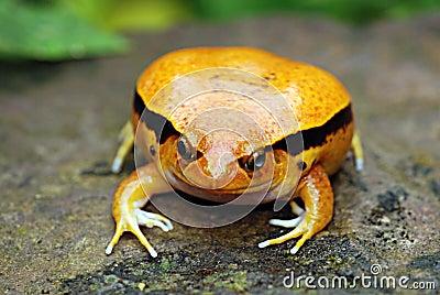 A Fake Tomato Frog