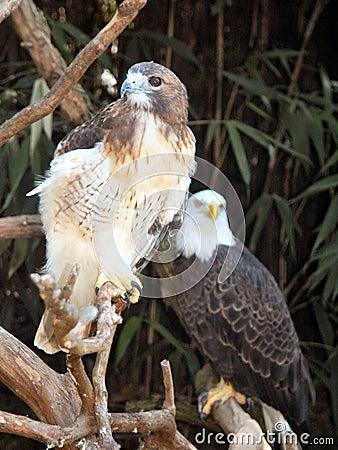 Falcão & águia