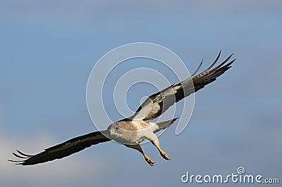 Falco durante il volo