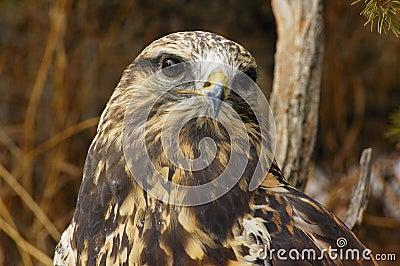 Falco Ruvido-fornito di gambe (7)