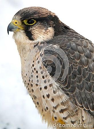 Free Falcon Royalty Free Stock Photos - 455178