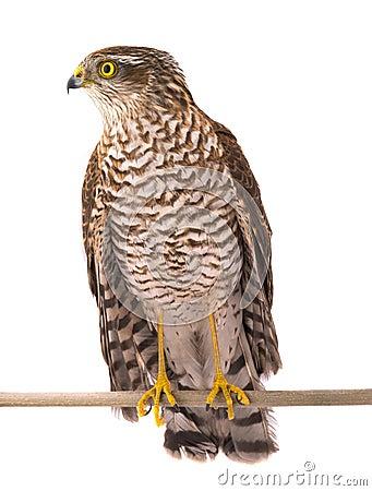 Free Falcon Royalty Free Stock Image - 98634476