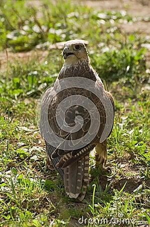 Falcon cherrug