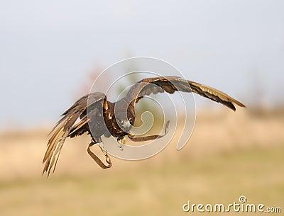 The falcon in flight.