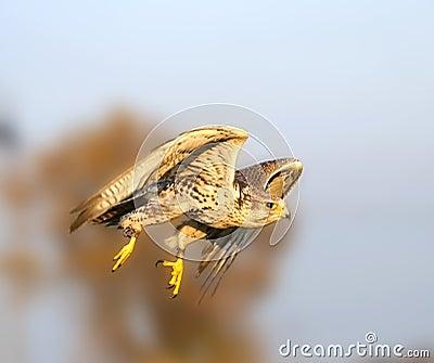 The falcon in the flight