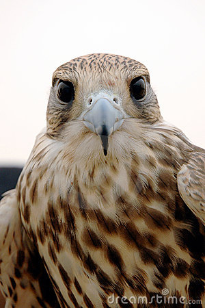 Falcon Head