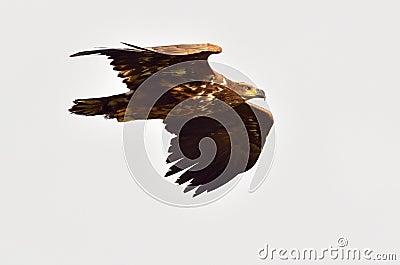 Falcon in natural habitat