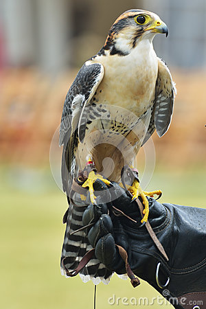 Free Falcon On Hand Of Trainer Royalty Free Stock Photo - 31809085