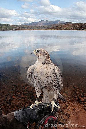 Free Falcon Perched On Gloved Hand With Lake Scene Stock Photos - 17374293