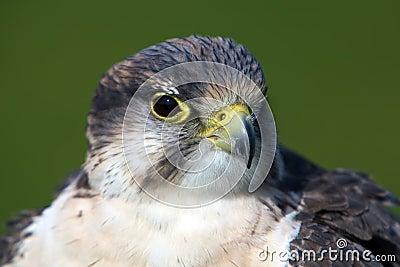 Falcon portrait