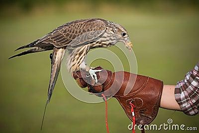 Falcon with a prey