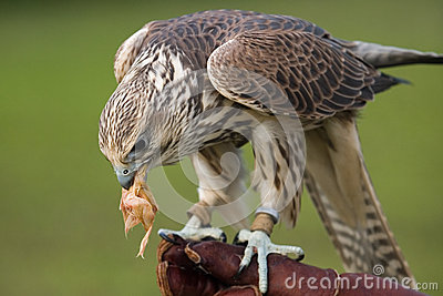 Falcon with a prey