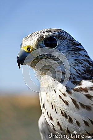 Falcon s head