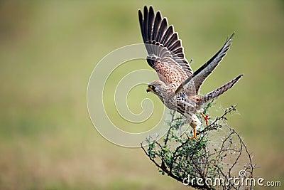 Falcon taking off