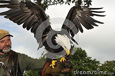 Falconer with Bald eagle