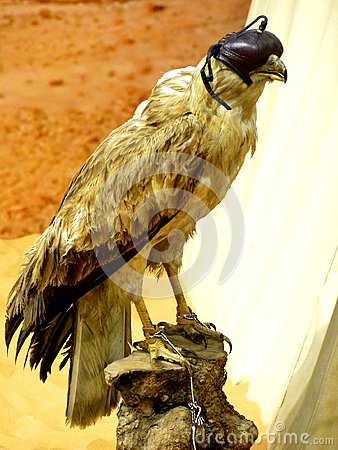 Falconry Falcon with Blind Fold
