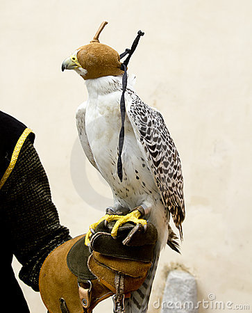 Free Falconry Falcon Rapacious Bird In Glove Hand Royalty Free Stock Images - 19660909