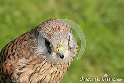 Falke (mit Raum für Text)