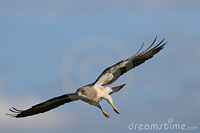 Falke während des Flugs