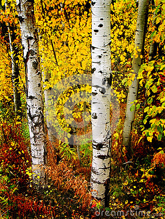 Fall Aspen Birch Leaves