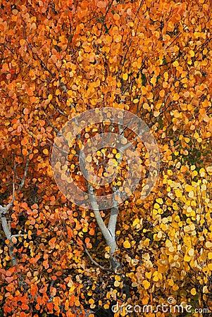 Fall Aspen Tree