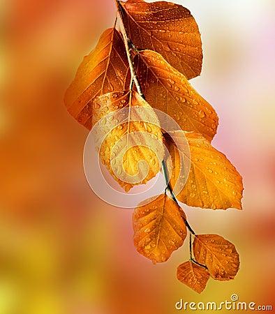 Free Fall Beech Branch Stock Image - 34330581