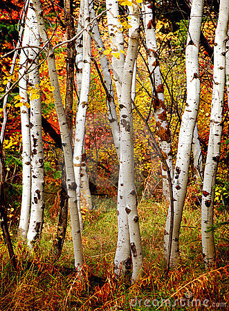 Free Fall Birch Trees Stock Photo - 22315680