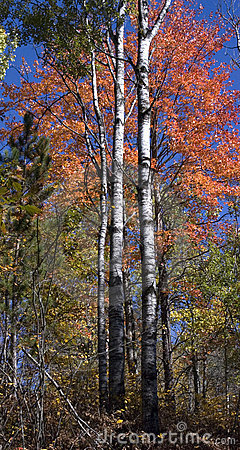 Free Fall Colors, Birch Trees, Autumn, Upper Michigan Stock Photo - 12156760
