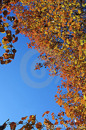 Fall colors on a Bradford Pear tree
