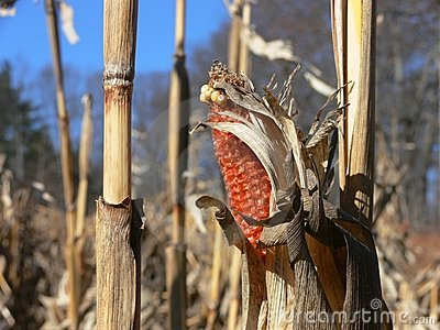 Fall: corn husk in harvested field