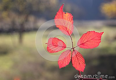 Fall foliage details - vivid red leaves