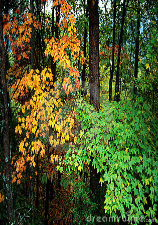 Fall Foliage in the Forest
