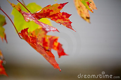 Fall Foliage in Rain