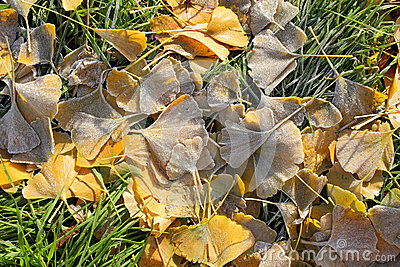 Fall frozen ginkgo leaves