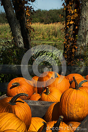 Fall harvest pumpkins