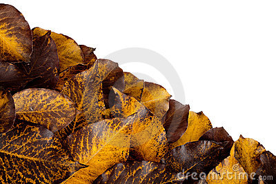Fall hawthorn leaves