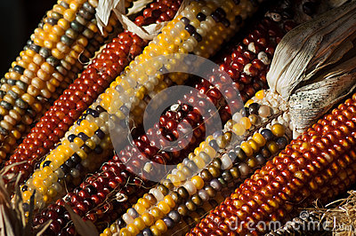Fall indian corn