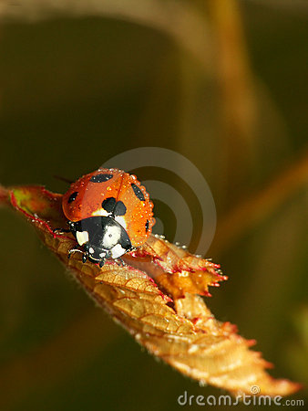 Free Fall Ladybug Royalty Free Stock Photos - 350768