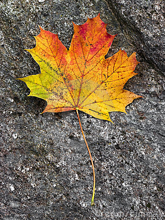 Free Fall Leaf Stock Image - 11456821