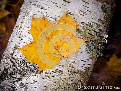 Fall leaf on birch