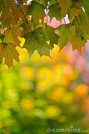 Fall Leaf Change Maple Foliage Background