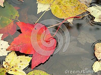 Fall: leaf sinking into pond