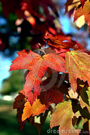 Free Fall Leaves Royalty Free Stock Image - 97146