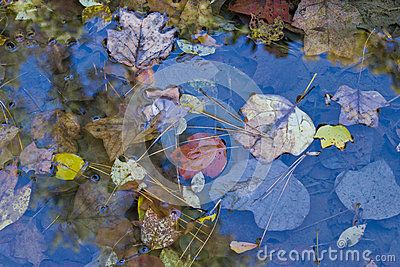 Fall Leaves in a Pool of Water