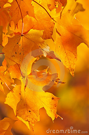 Free Fall Maple Leaves Royalty Free Stock Photos - 10466788