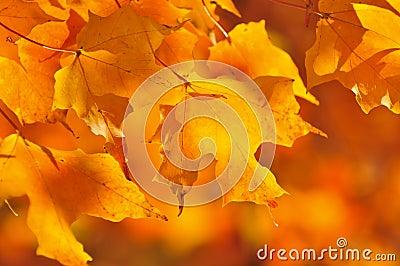 Fall maple leaves