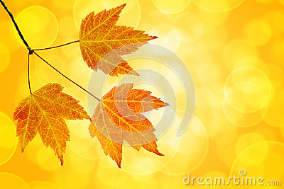 Fall Maple Leaves Trio with Bokeh Background