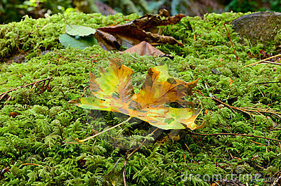 Fall Maple on Moss